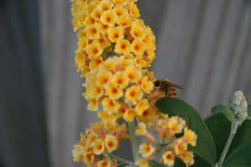 Bee on a Buddleia Honeycomb Butterfly Bush