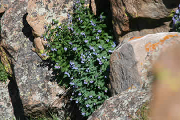 Colorado Blue Bells