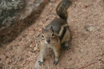 Chipmunk Rocky Mountains