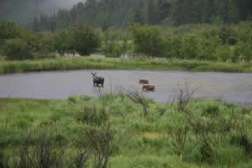 Moose and calves in pond