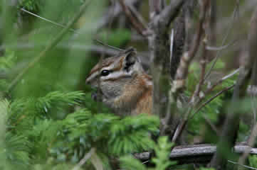 Least Chipmunk Rockies