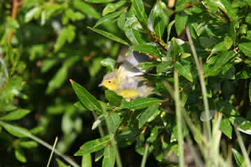 Wilson's Warbler at Beaver Pond Rockies