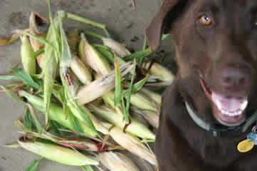 Hank the Tank and Corn Harvest