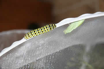 Swallowtail cat and chrysalis