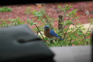 office bluebird