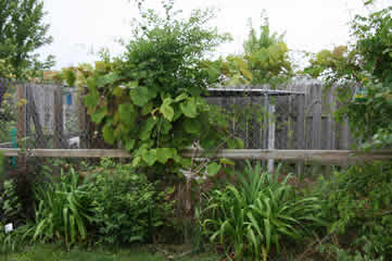 vines on dog fence