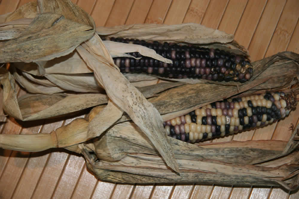 corn in indian territory