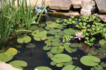 American indian health ponds for Backyard pond animals